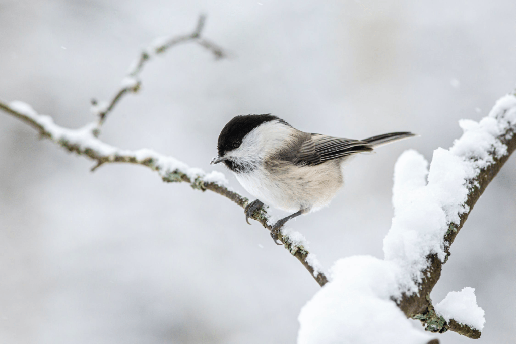 Snow bird on branch