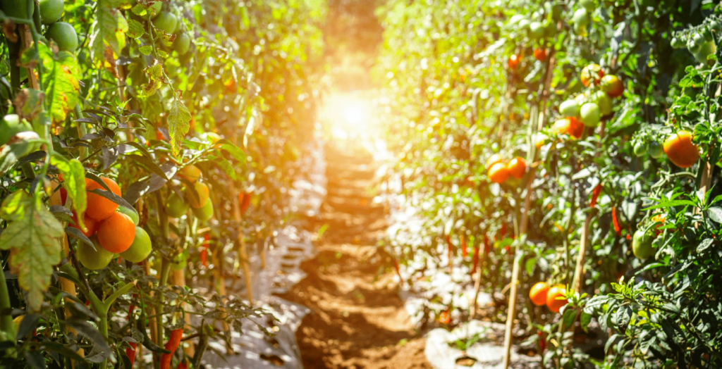 row of tomatoes in sunlight