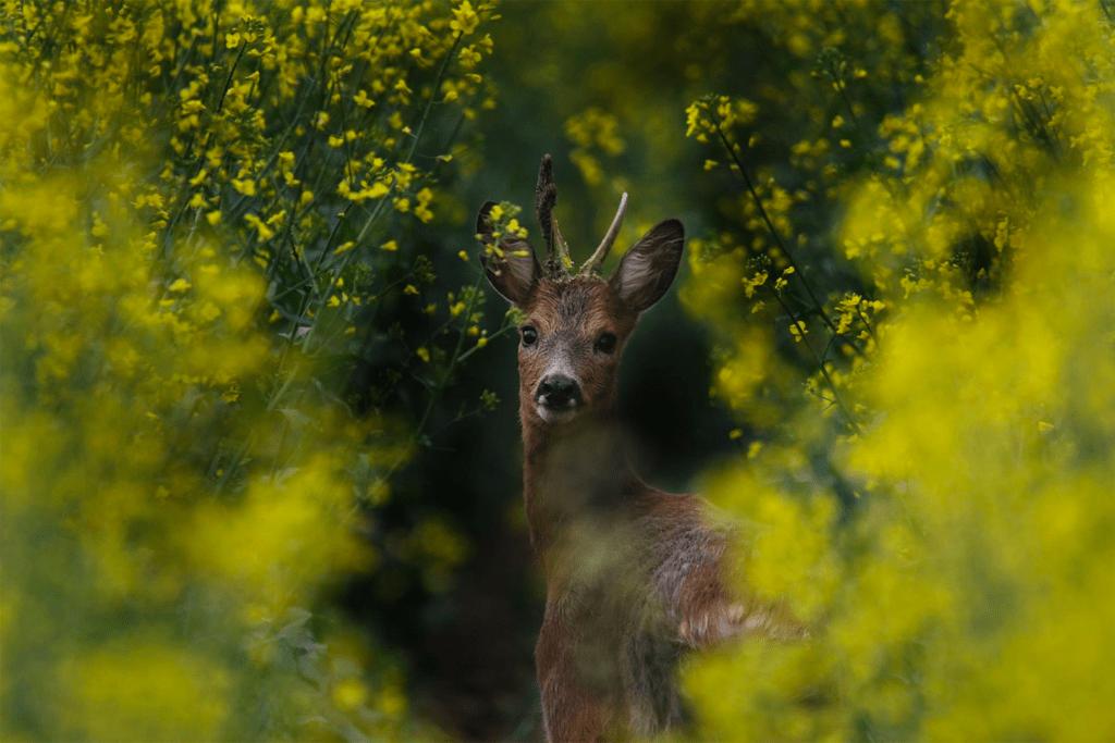 deer in greenery
