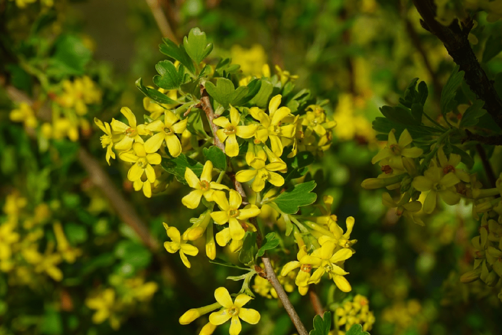 currant - yellow