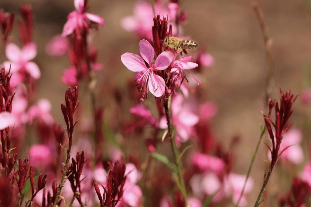 Gaura - pink