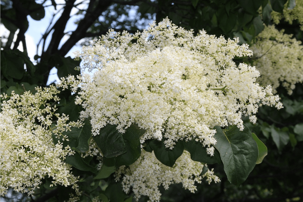 Japanese Lilac-01