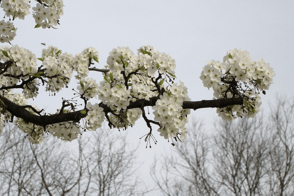 Crabapple White