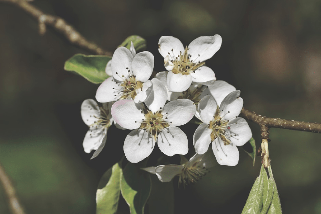 white pear blossoms
