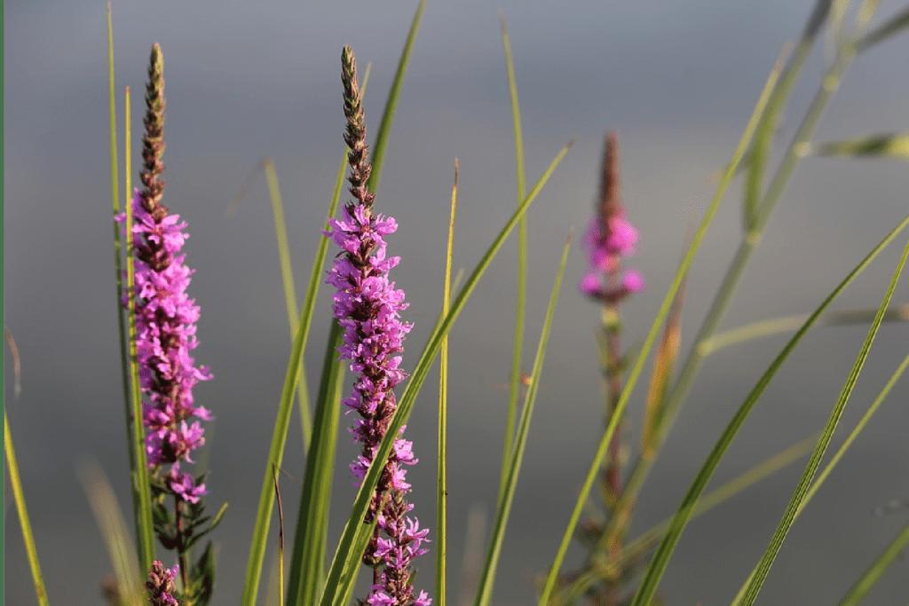 pink veronica speedwell