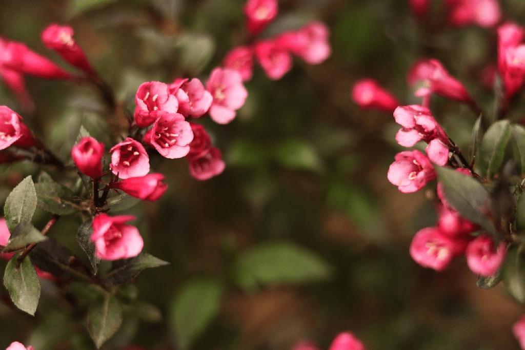 weigela - red