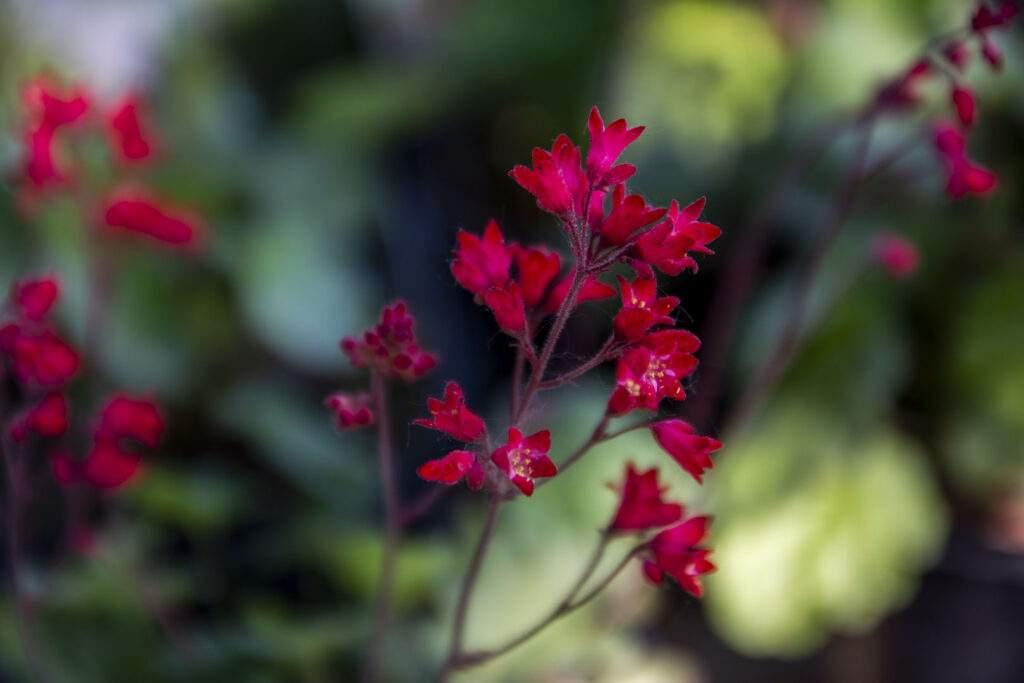 firefly coralbells