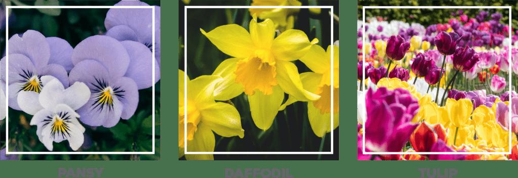 pansy, daffodil, tulip