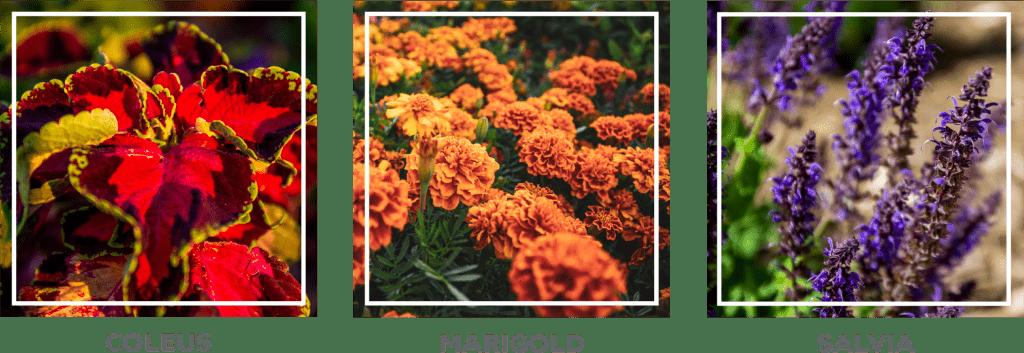coleus, marigold and salvia