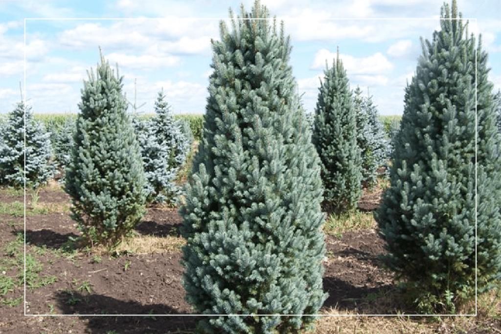 blue totem spruce