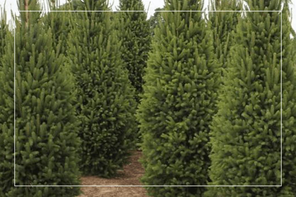 columnnar norway spruce