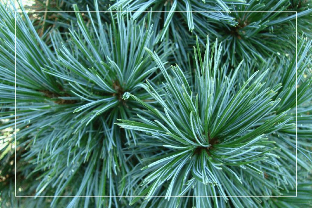vanderwolf pine