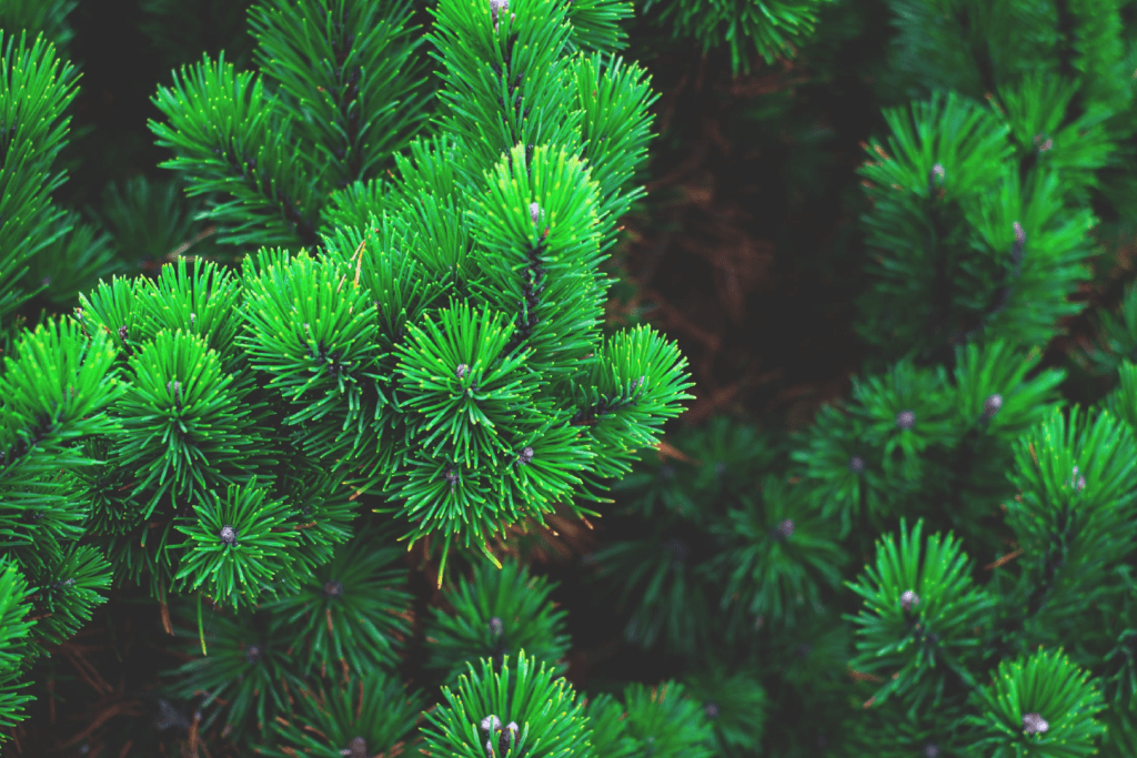 evergreen tree needles