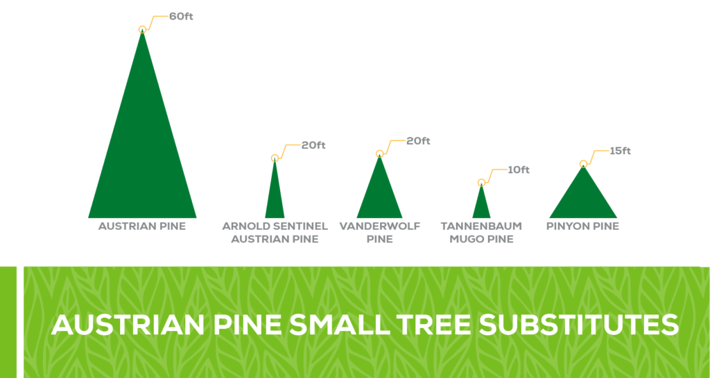 austrian pine small tree substitute