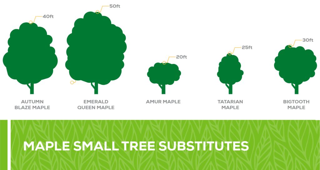 maple small tree substitutes
