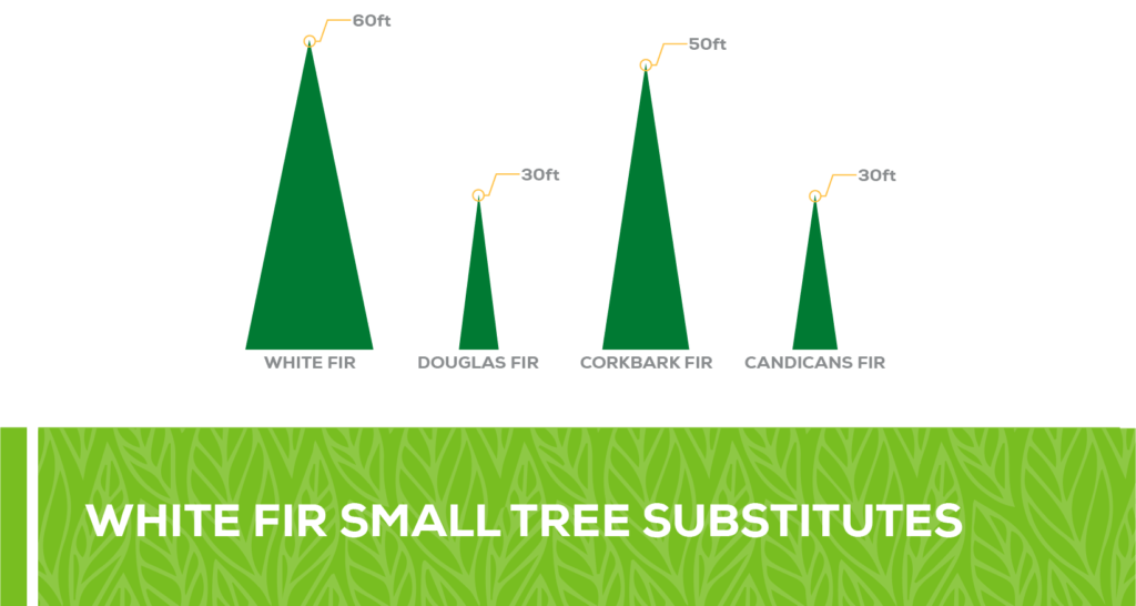 white fir small tree substitute