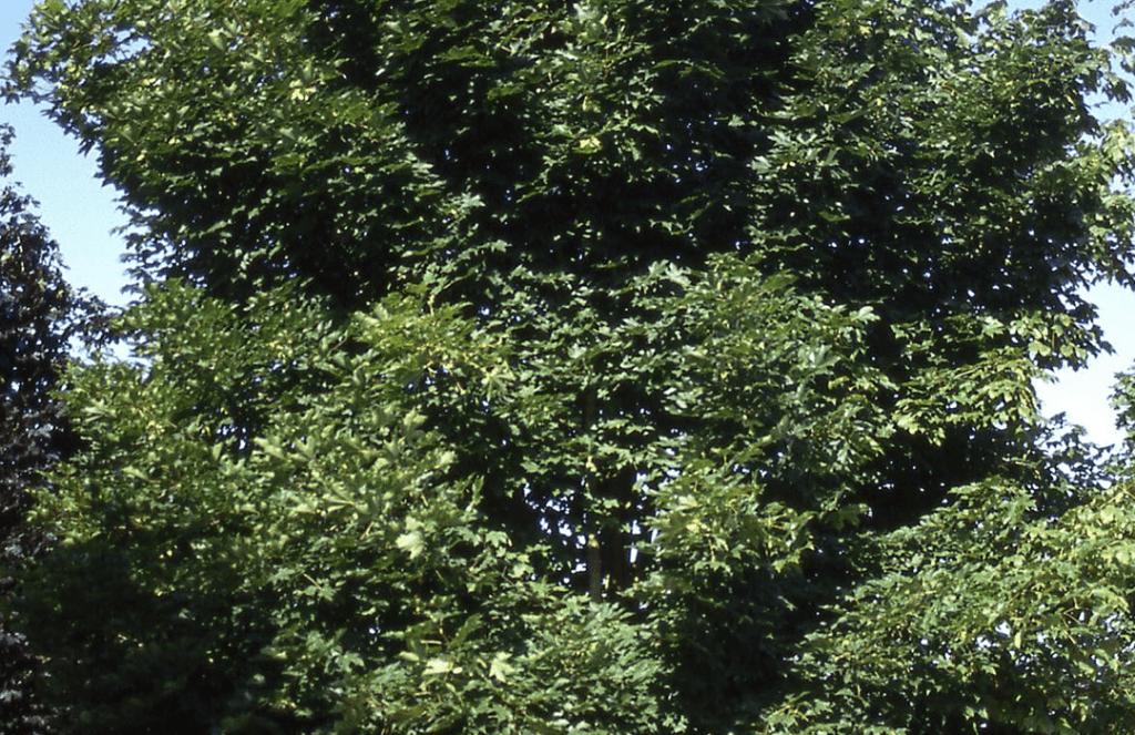 emerald queen maple