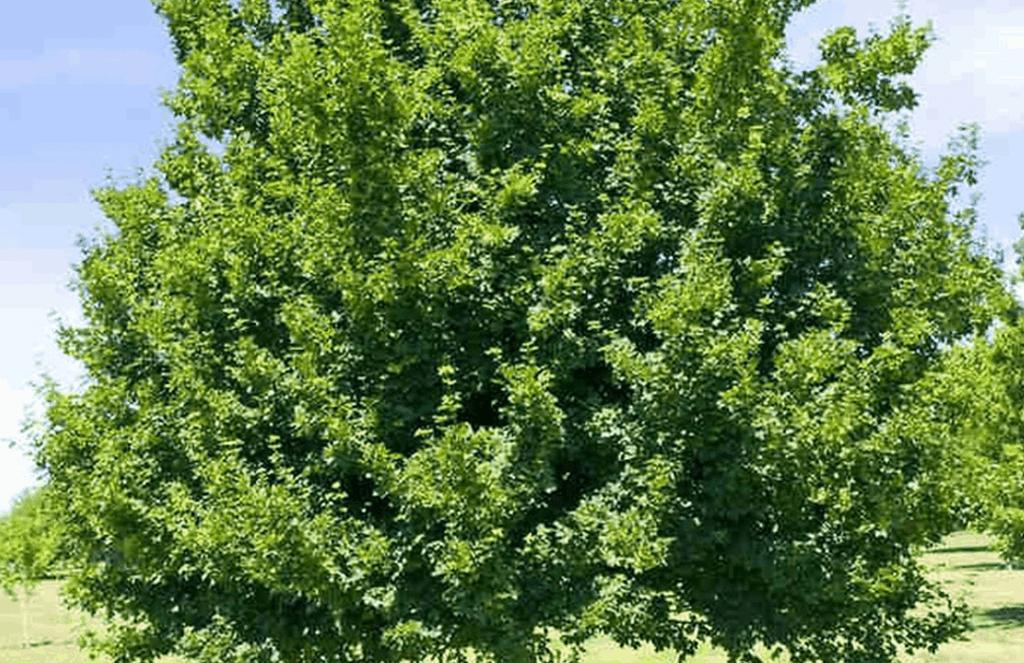 tatarian maple tree