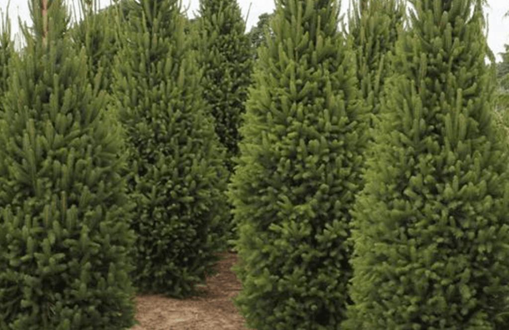 columnar norway spruce
