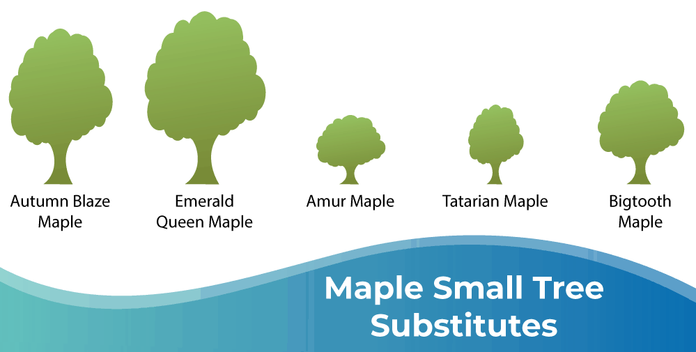 Maple Small Tree Substitutes Infographic