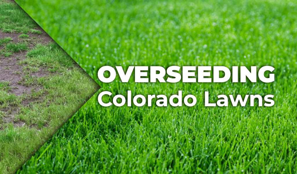 Steps for Overseeding Your Colorado Lawn
