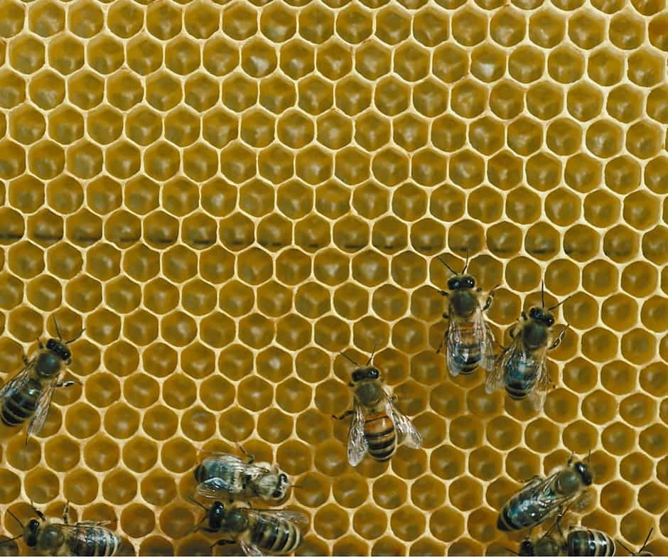 Bees on honeycomb, who are common pollinators.