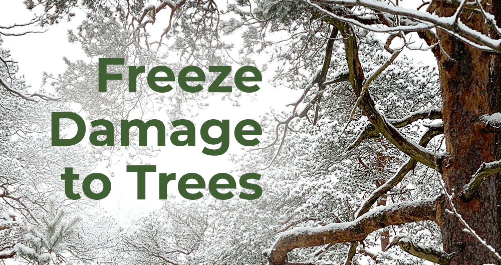 What you Need to Know About Freeze Damage to Trees in Colorado