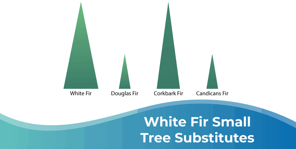 White Fir Small Tree Substitutes Infographic
