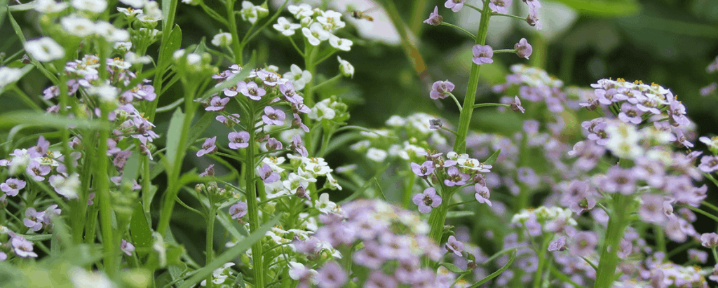 alyssum fragrance flower