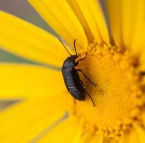 Colorado's Native Pollinators
