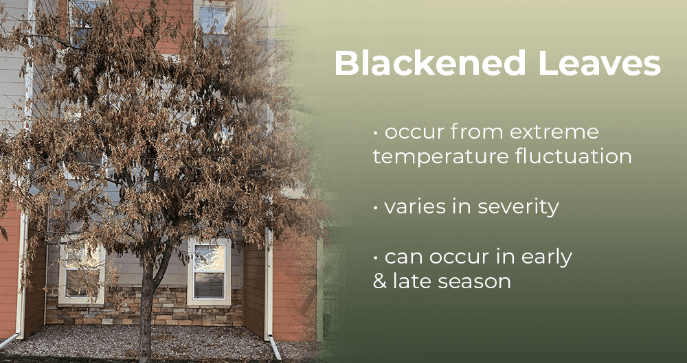 blackened leaves from freeze damage