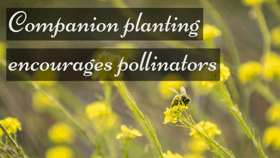 companion planting encourages pollinators