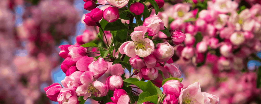 crabapple tree for fragrance garden