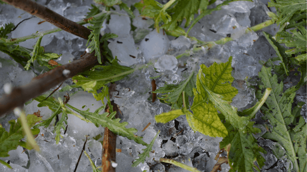 damage to plants after a hail storm
