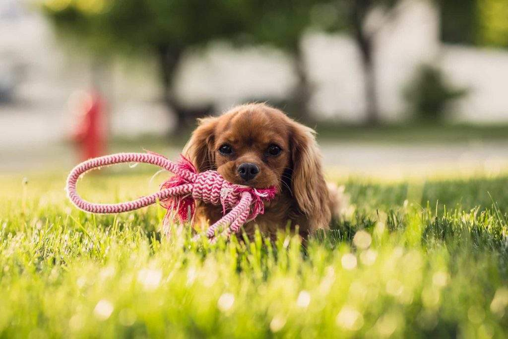 Dog in grass with toy