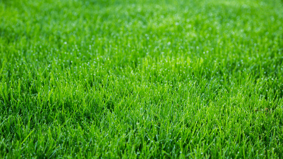 What's wrong with my lawn? here is a healthy lawn