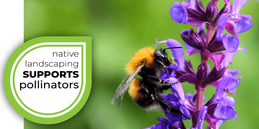 native landscaping supports pollinators_ bee on purple flowers