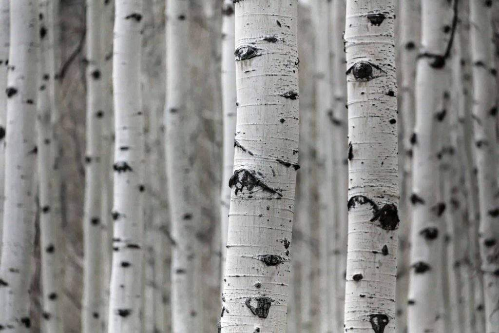 textured bark on an aspen for winter interest in the garden