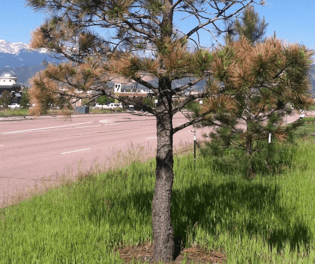 salt damage to tree