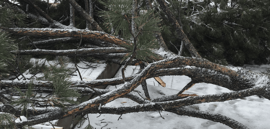 severe tree damage from snow storm