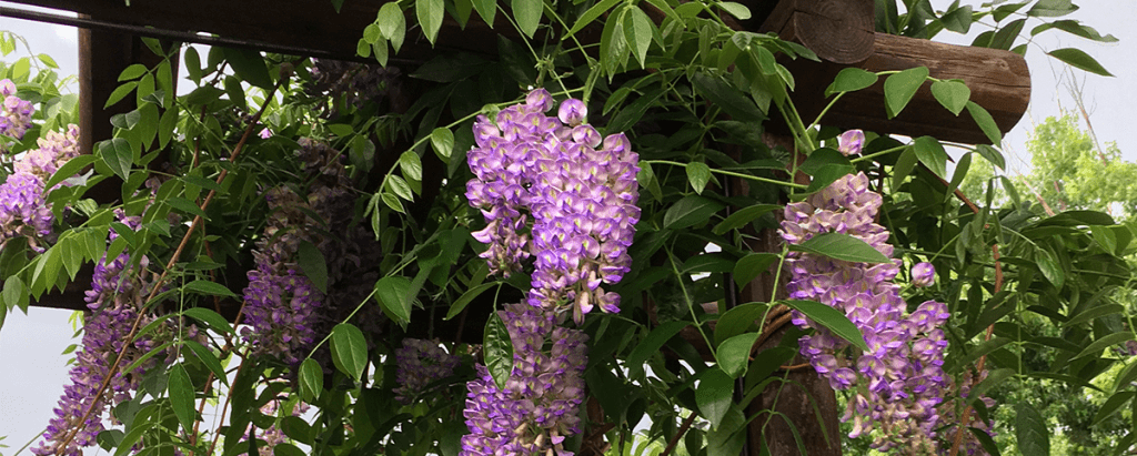 wisteria fragrance flower