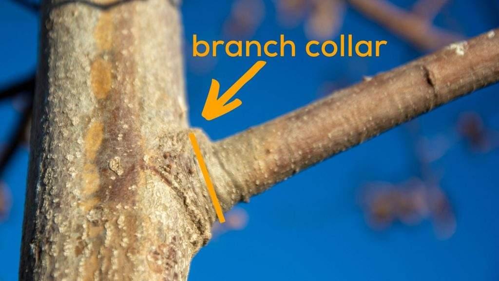 Tree Branch Collar Pruning