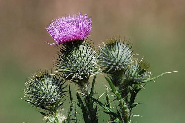 noxious weeds bull thistle