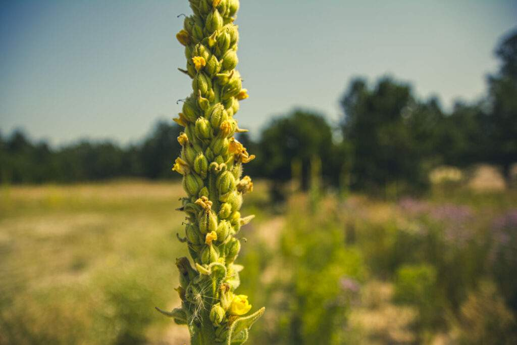 mullein noxious weed